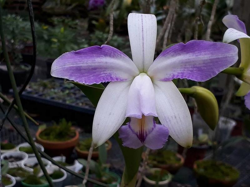 Cattleya violacea - Page 2 22405910