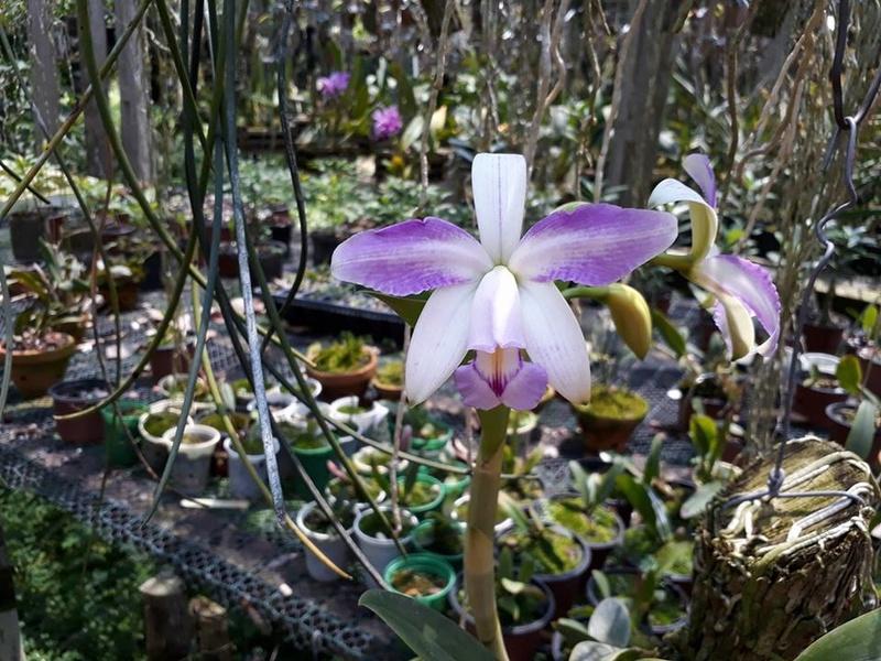 Cattleya violacea - Page 2 22490210