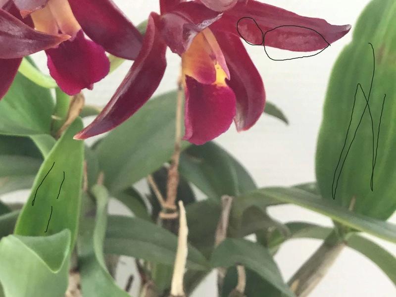 Cattleya Chian-Tzy Guiding 'Chian-Tzy Red Top' 25371010