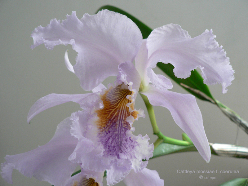 Cattleya mossiae f. coerulea  Cattle71