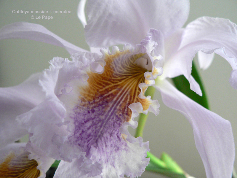 Cattleya mossiae f. coerulea  Cattle72