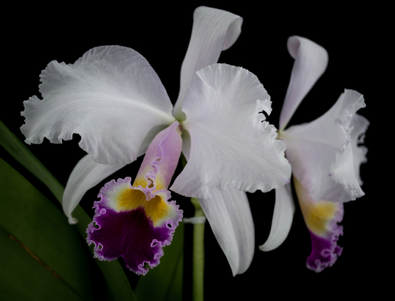 Orchideen 3 (fortlaufende Seiten 300 bis 400) - Seite 39 17021812