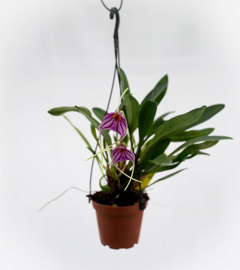 Masdevallia garciae x chaparensis 21011819