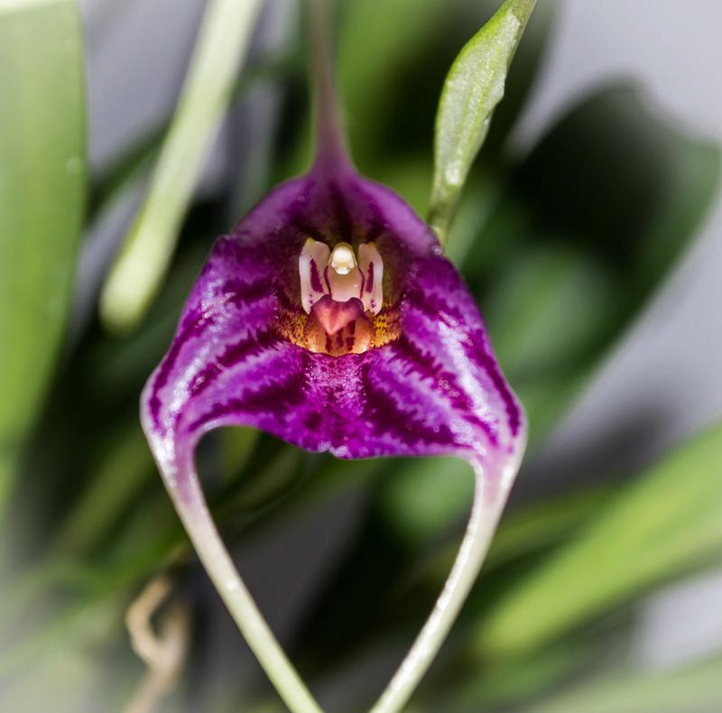 Masdevallia garciae x chaparensis 21011820