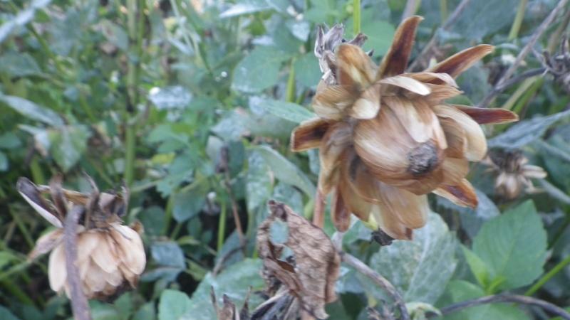 semis de dahlias - Page 3 Imgp8611