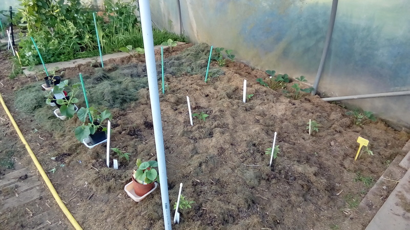 Tomates 2018 P_201201