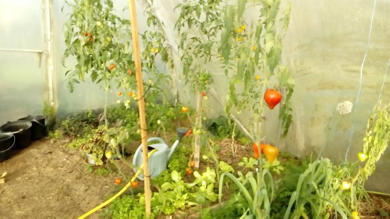 Tomates - Page 36 P_201764