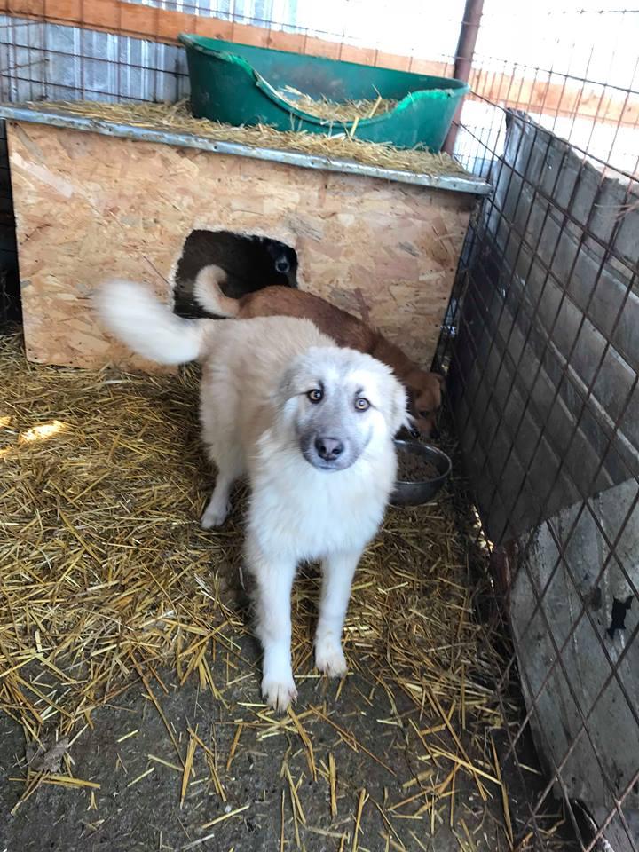 Baïkal (ex-Bianco) - mâle - refuge de Târgu Frumos - adopté par sa  FA (67) Bianca10