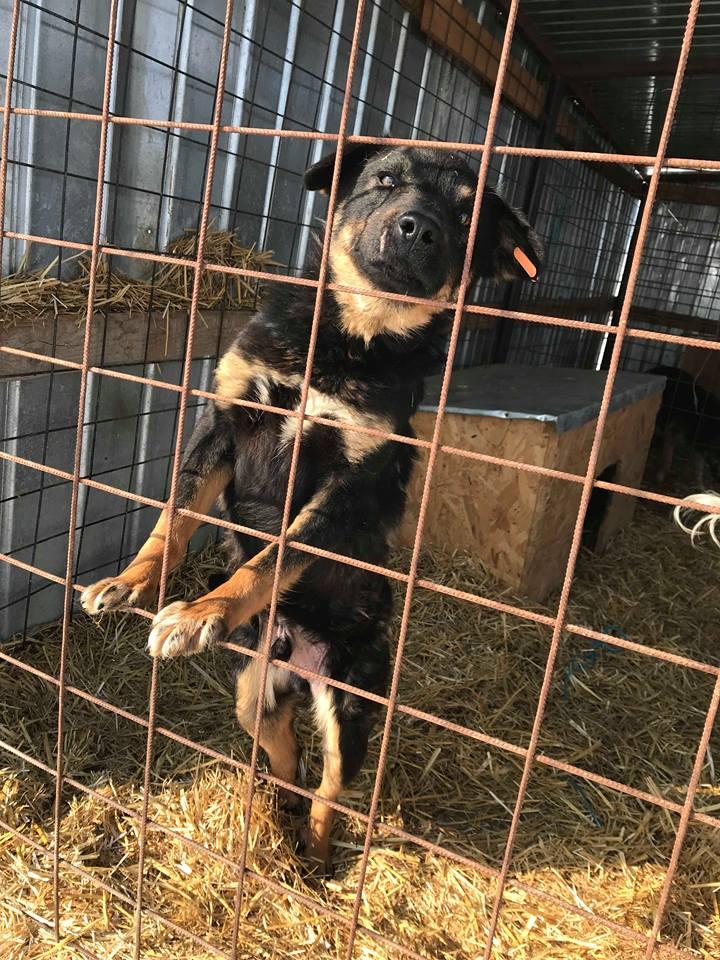 Blackjack - mâle - refuge de Târgu Frumos - réservé adoption (67) Blackj11
