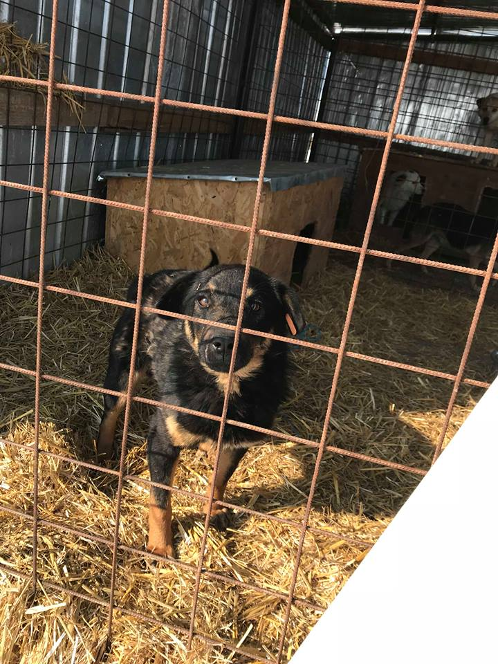 Blackjack - mâle - refuge de Târgu Frumos - réservé adoption (67) Blackj14