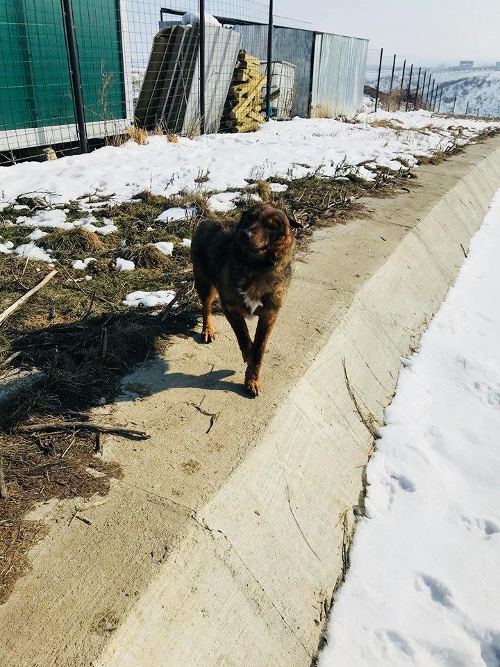 Mila (ex-Brownie) - femelle - refuge de Târgu Frumos  - adoptée (67) Browni25