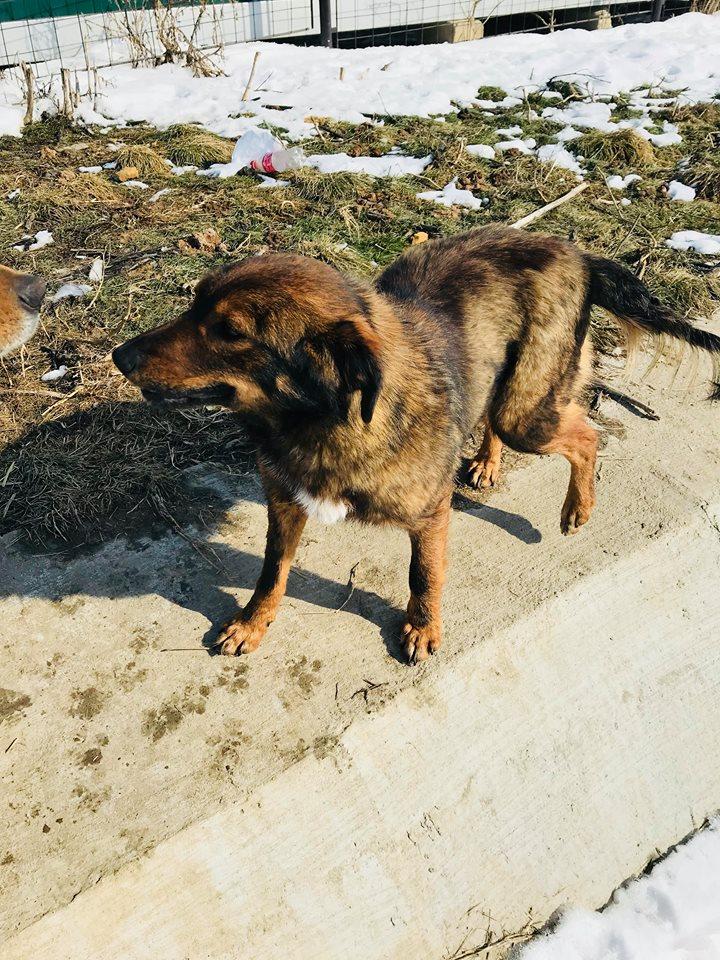 Mila (ex-Brownie) - femelle - refuge de Târgu Frumos  - adoptée (67) Browni26