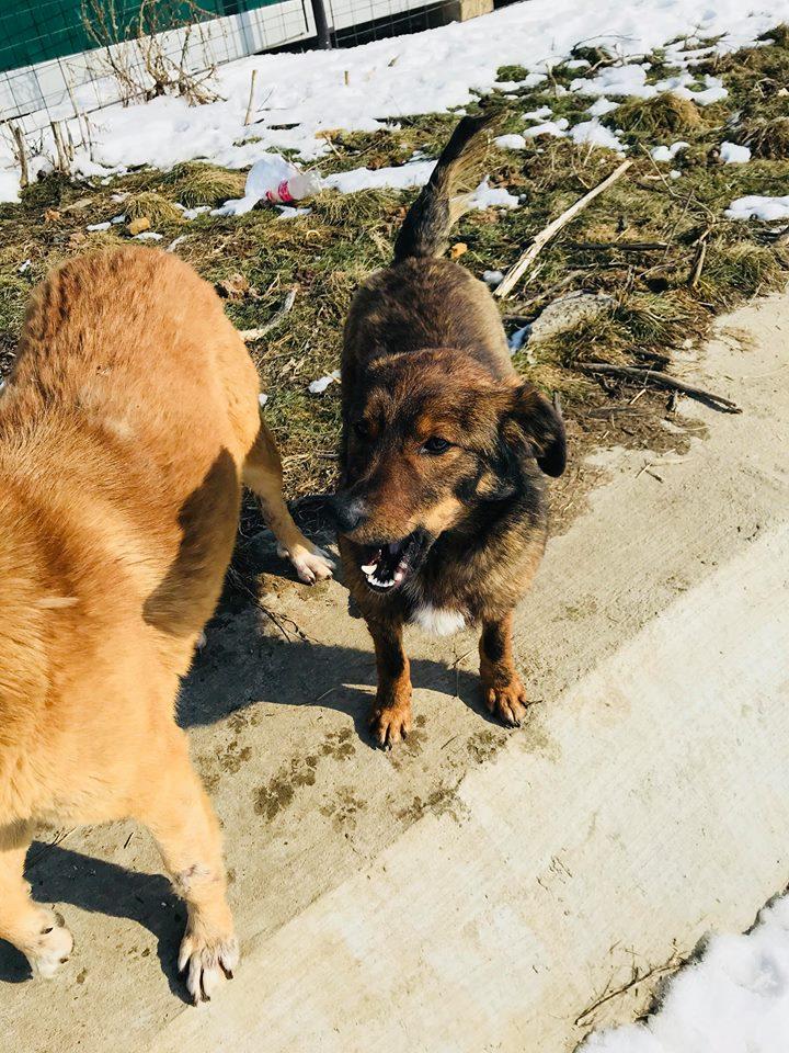Mila (ex-Brownie) - femelle - refuge de Târgu Frumos  - adoptée (67) Browni27