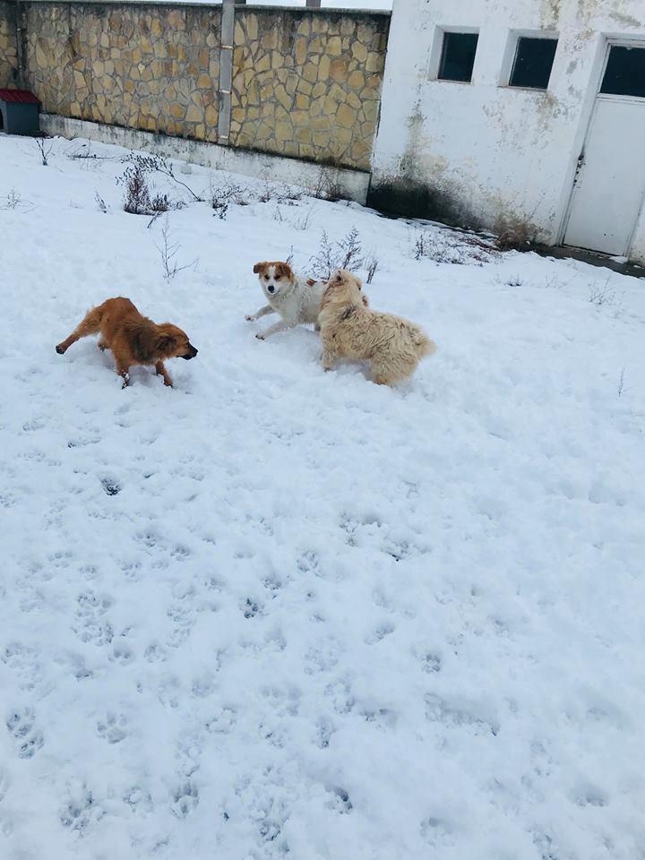 Snow - mâle - refuge de Târgu Frumos - adopté en Hollande Clafou23
