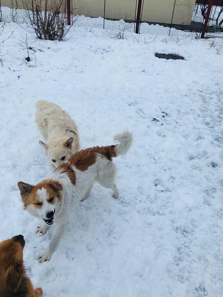 Snow - mâle - refuge de Târgu Frumos - adopté en Hollande Clafou24