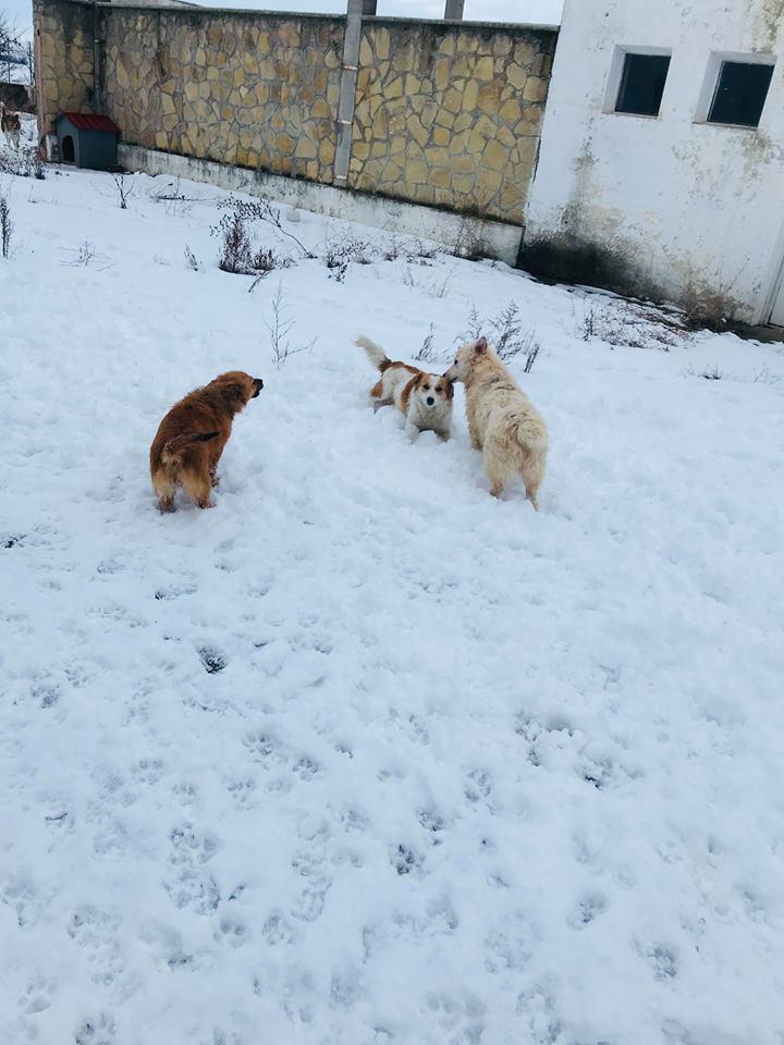 Snow - mâle - refuge de Târgu Frumos - adopté en Hollande Clafou25