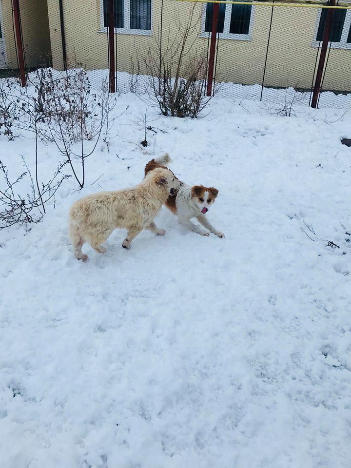 Snow - mâle - refuge de Târgu Frumos - adopté en Hollande Clafou26