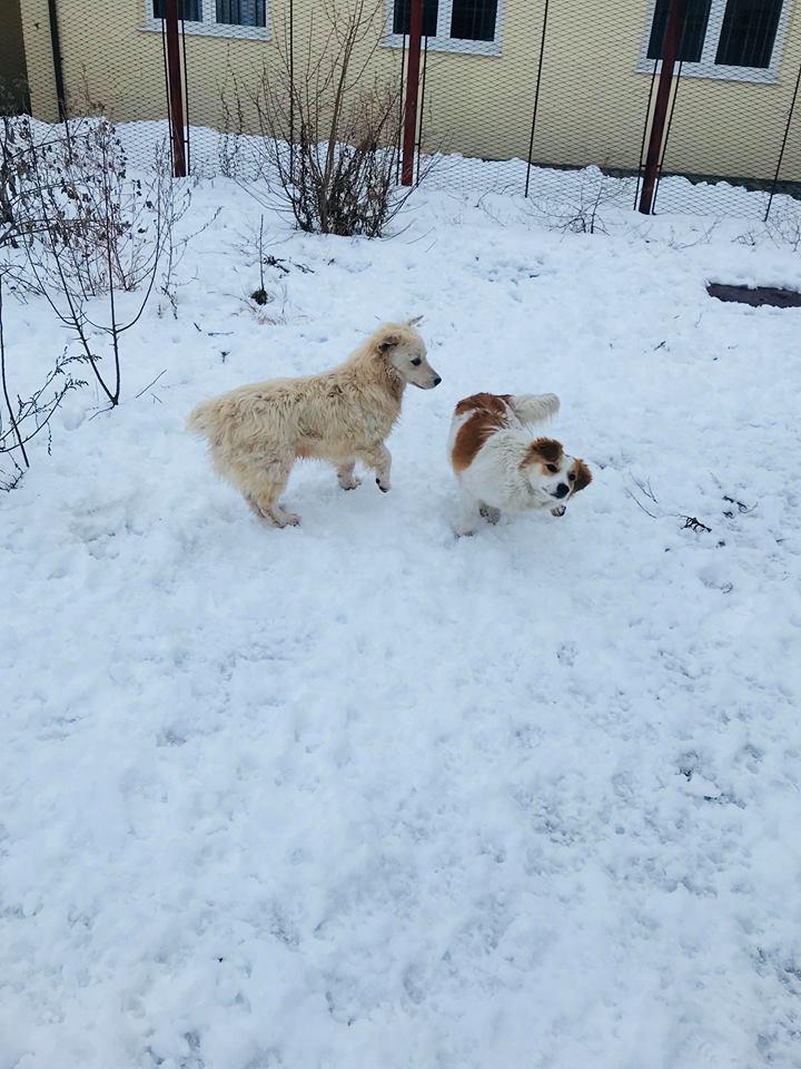 Snow - mâle - refuge de Târgu Frumos - adopté en Hollande Clafou27