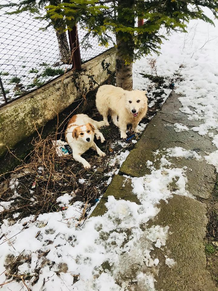 Snow - mâle - refuge de Târgu Frumos - adopté en Hollande Clafou28