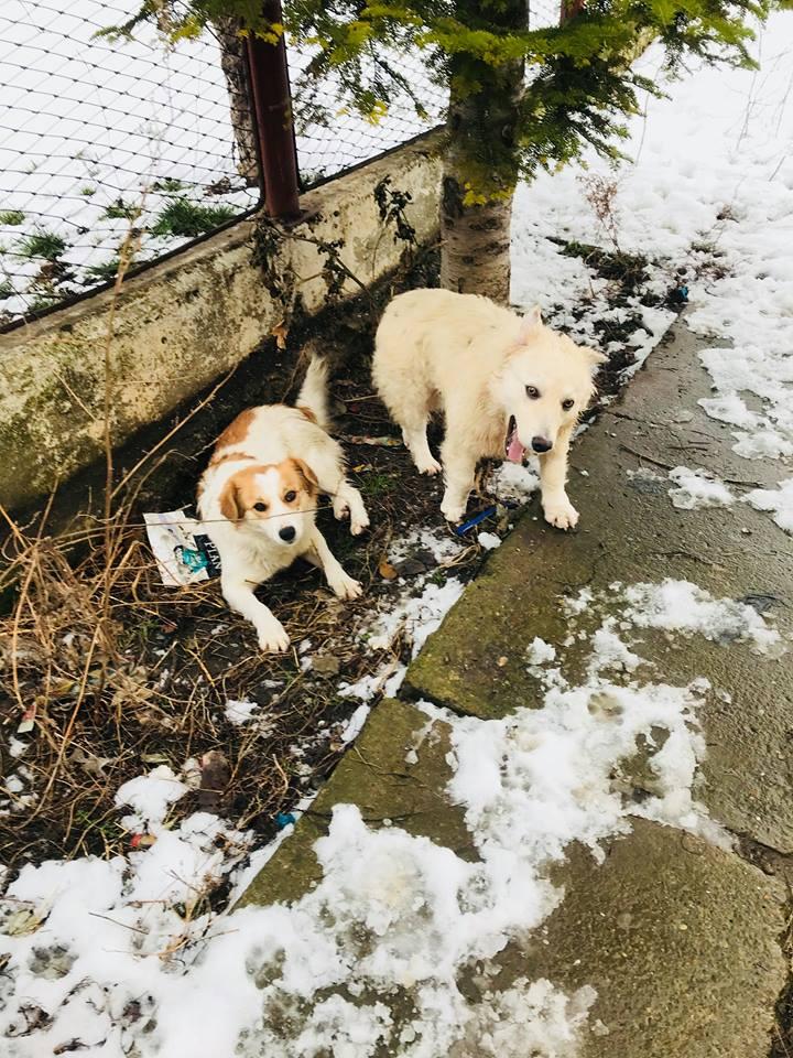 Snow - mâle - refuge de Târgu Frumos - adopté en Hollande Clafou29