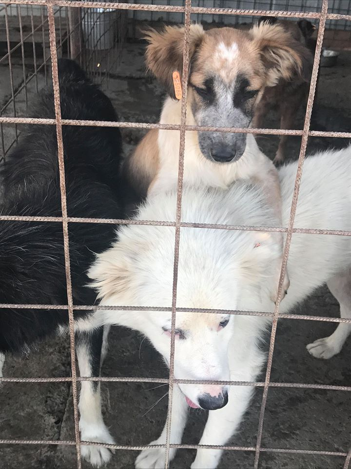 Láska (ex-Dana) - femelle - refuge de Târgu Frumos - réservée adoption (88) Dana_111