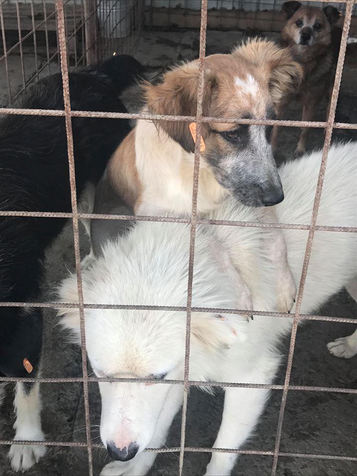 Láska (ex-Dana) - femelle - refuge de Târgu Frumos - réservée adoption (88) Dana_112
