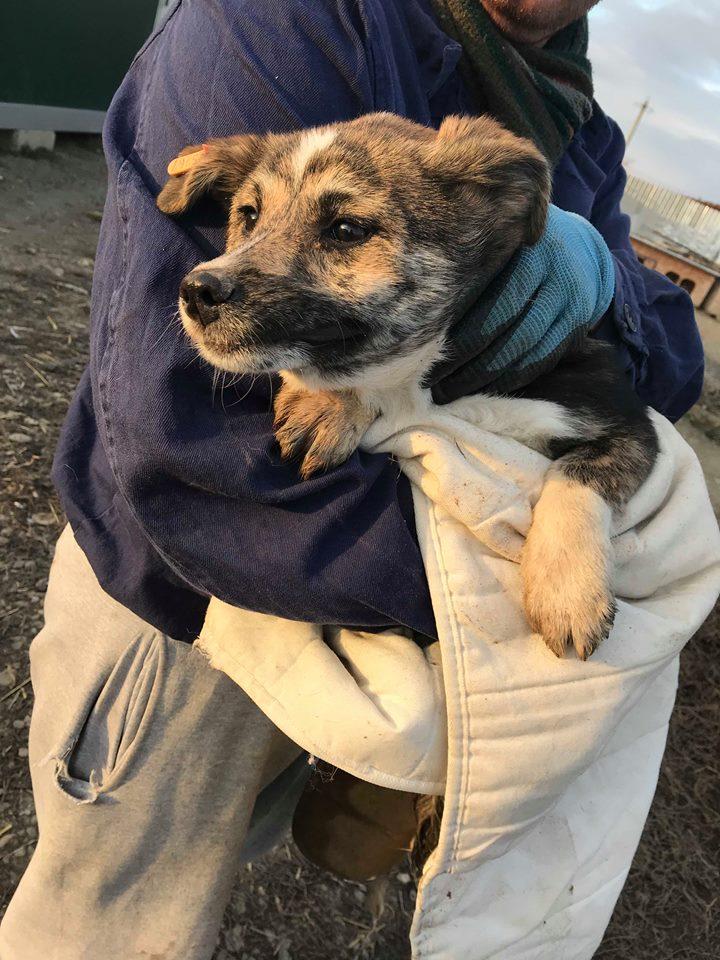Nutela - chienne femelle - refuge de Târgu Frumos - en famille d'accueil dans le 68 Nutela12