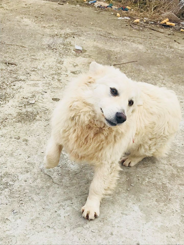 Snow - mâle - refuge de Târgu Frumos - adopté en Hollande Snow_111