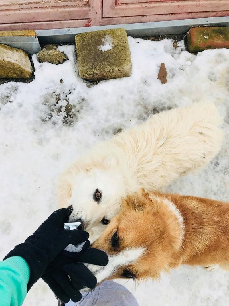 Snow - mâle - refuge de Târgu Frumos - adopté en Hollande Snow_113
