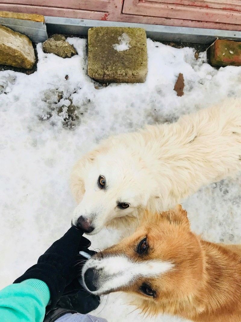 Snow - mâle - refuge de Târgu Frumos - adopté en Hollande Snow_114