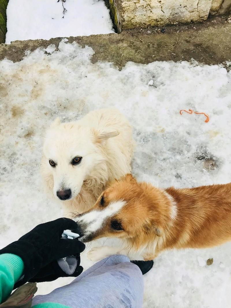Snow - mâle - refuge de Târgu Frumos - adopté en Hollande Snow_115