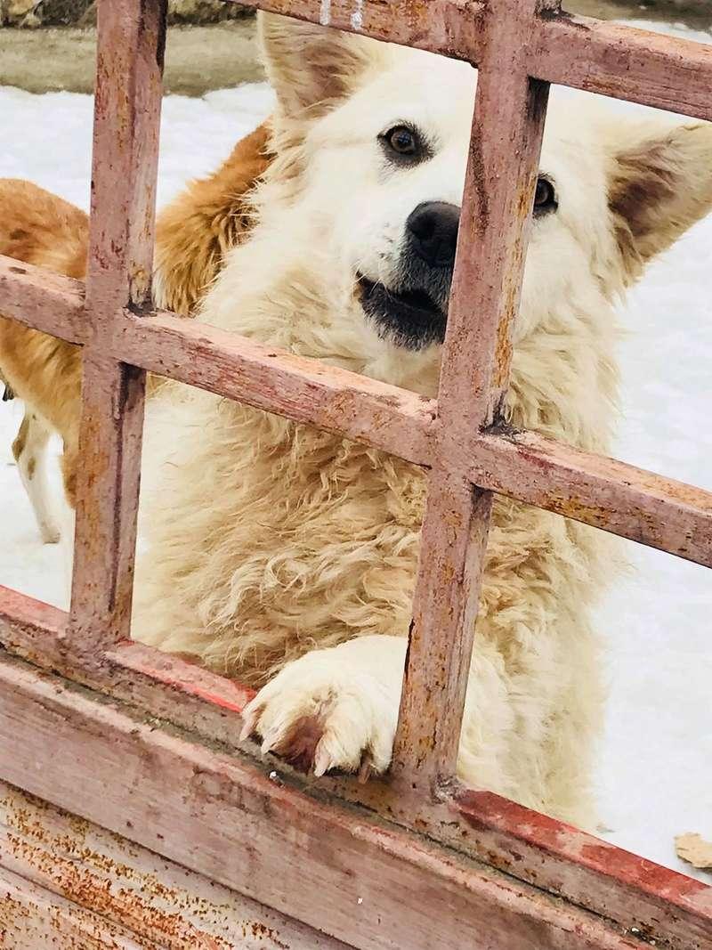Snow - mâle - refuge de Târgu Frumos - adopté en Hollande Snow_116