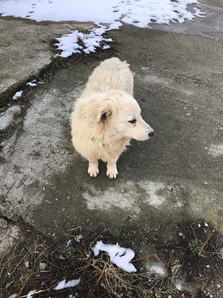 Snow - mâle - refuge de Târgu Frumos - adopté en Hollande Snow_310