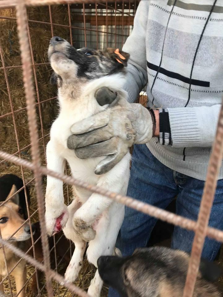 Tamara - femelle - refuge de Târgu Frumos - en FA dans le 68 Tamara24