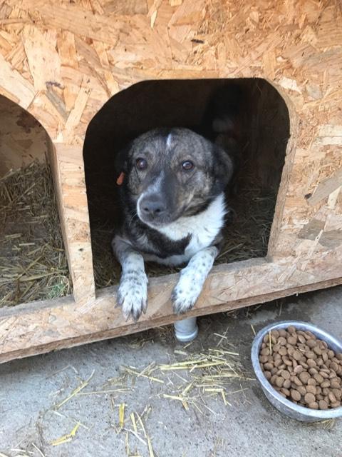 SCRATCH (ex-Toto) - mâle - refuge de Târgu Frumos réservé adoption 67 Toto_110