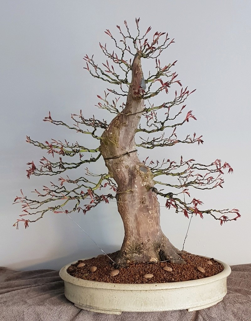Giant Japanese maple project  - Page 3 20180411