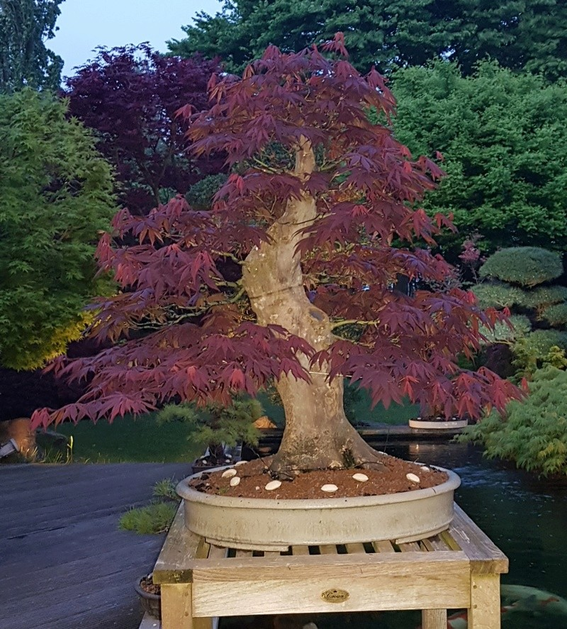 Giant Japanese maple project  - Page 3 20180412