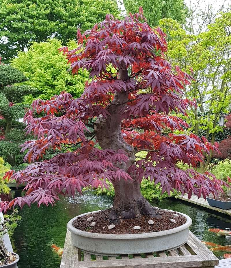 Giant Japanese maple project  - Page 3 20180413