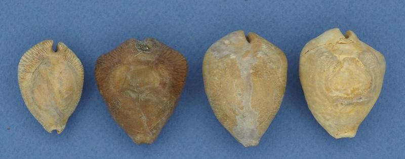 Cypraeidae - † Baricypraea 4 sp identifiées - Miocène (West Java, Indonésie) Barycy10