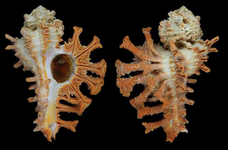 Muricidae Muricopsinae Homalocantha - Le genre, ses espèces, la planche H-sp-o10