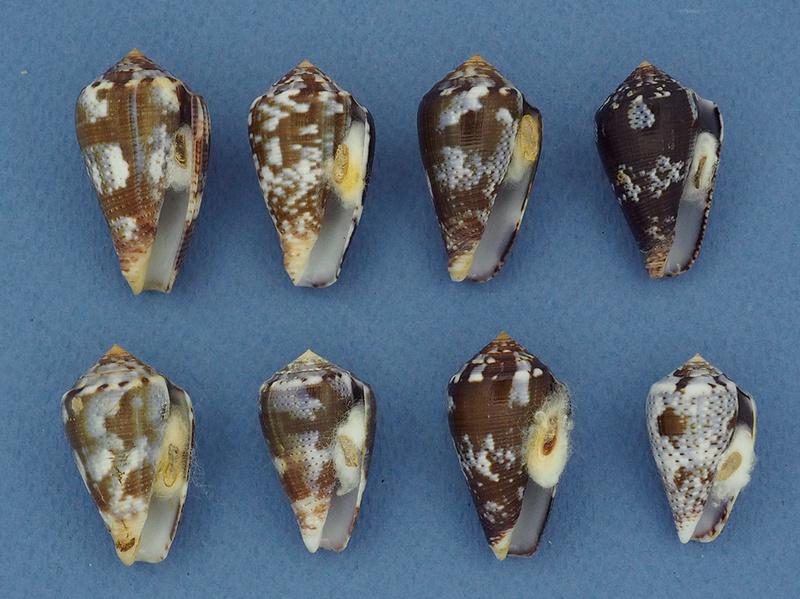Conus (Pionoconus) easoni   (Petuch & Berschauer, 2018) P3202410