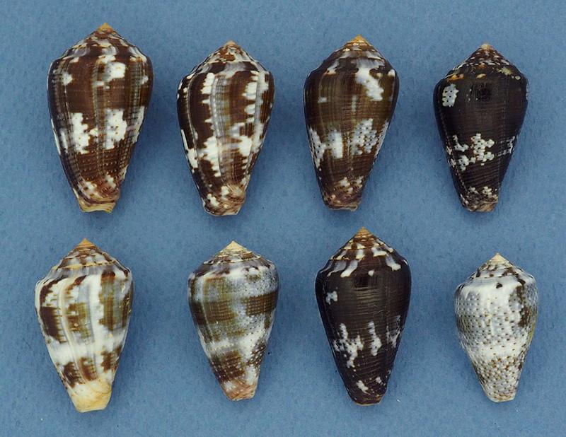 Conus (Pionoconus) easoni   (Petuch & Berschauer, 2018) P3202411
