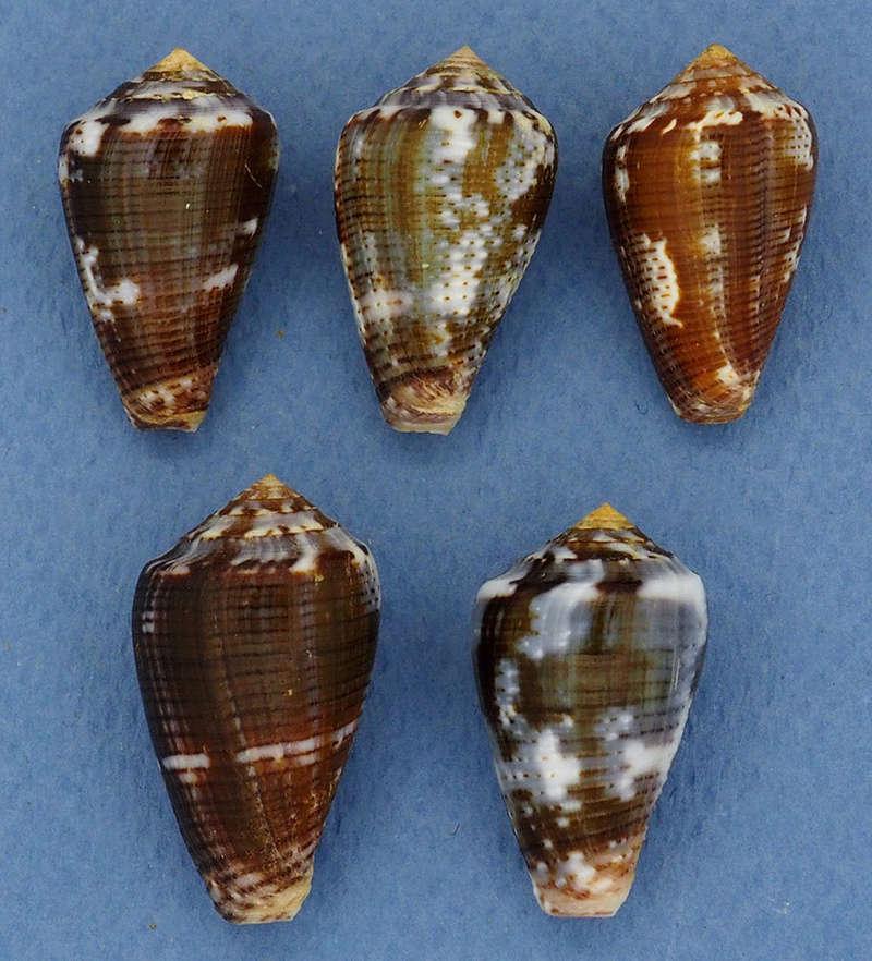 Conus (Pionoconus) easoni   (Petuch & Berschauer, 2018) P3202510