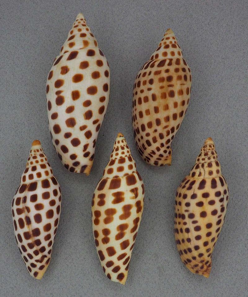 Scaphella junonia - (Lamarck, 1804) Pb291710