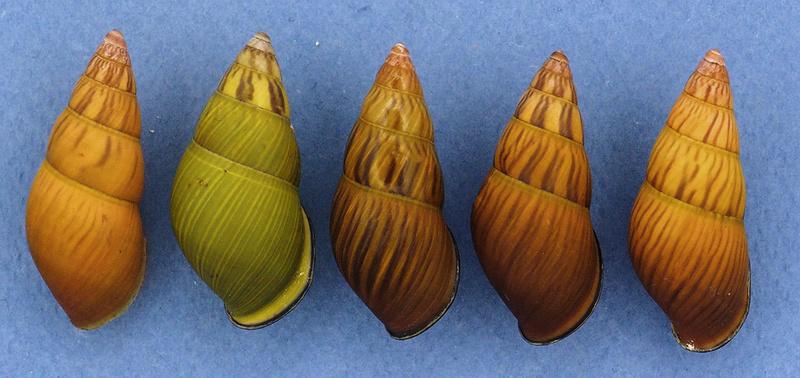 Nouvelles espèces d'Amphidromus ou pas ? Pc036010