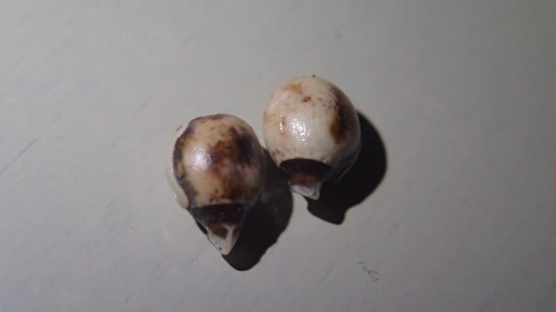 Extatosoma Tiratum / Phasme scorpion Pc264910