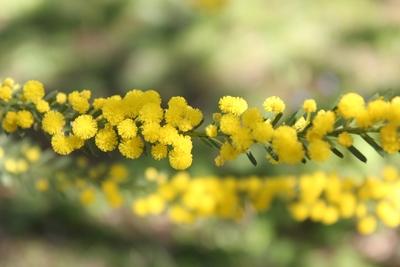 Acacia sp. [Identification à suivre] Acacia10