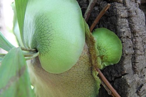 Platycerium - le genre - fougère épiphyte  - Page 2 Platy_10