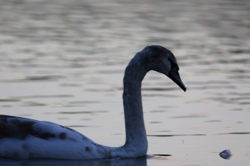 Quelques photos d'oiseaux. 624a0010