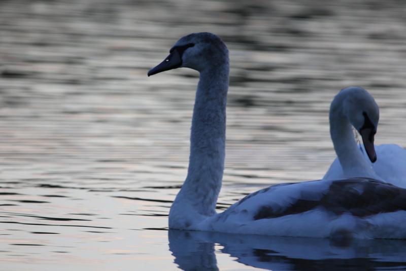 Quelques photos d'oiseaux. 624a0014